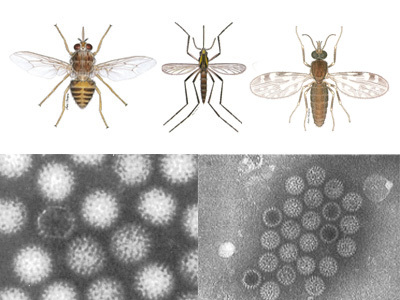 Image for Vectors & Vector-borne diseases