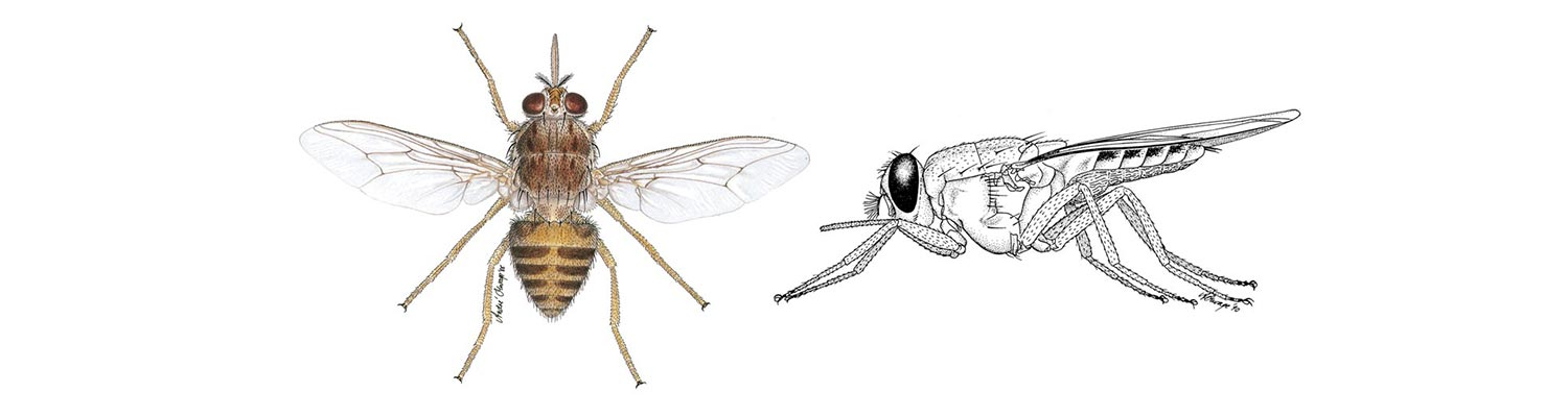 Vectors: Tsetse flies
